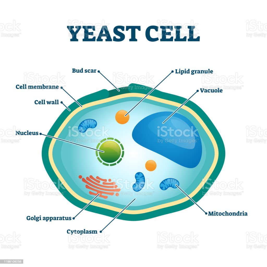 Yeast Cells Illustrations  Royalty