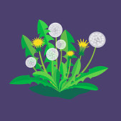 Yellow and white stylized dandelions with green leaves. Vector illustration in flat style.