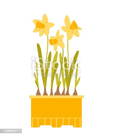 istock Yellow daffodils in a pot. Beautiful spring potted flowers isolated on white background. Vector illustration in flat style. 1299633272