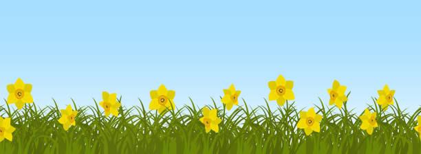 gelbe narzissen im grünen rasen auf einem blauen himmelshintergrund. nahtlose grenze - narzissen stock-grafiken, -clipart, -cartoons und -symbole
