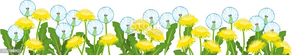 Yellow dandelions flowers and white blowballs field isolated on white background. Flower border