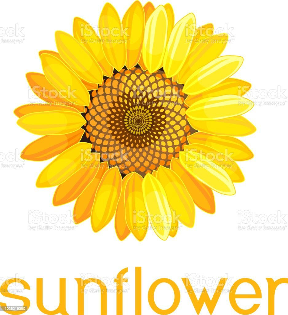 Yellow Flower Of Sunflower With Title On White Background Stock