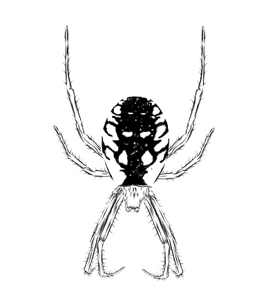Yellow Garden Spider Pen and Ink Drawing. EPS10 Vector Illustration