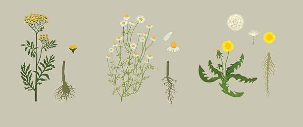 Yellow Herbarium Yellow herbarium with tansy, chamomile, dandelion chamomile plant stock illustrations