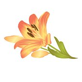Yellow lily a yellow flower with leaves and buds  vector illustration editable