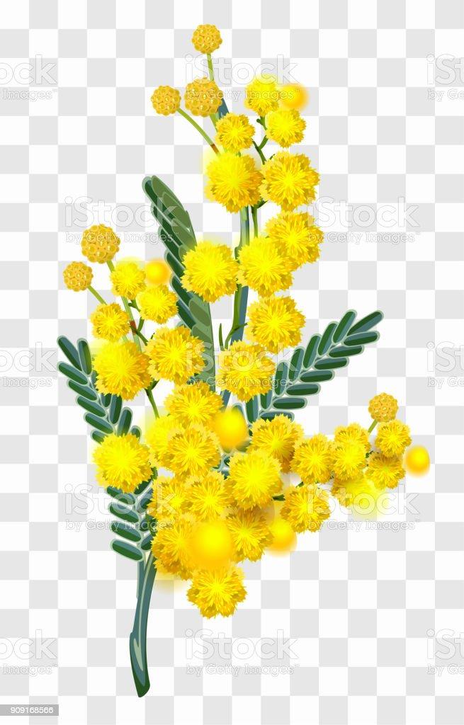 Gelbe Mimose Blume Zweig Auf Transparenten Hintergrund Isoliert ...