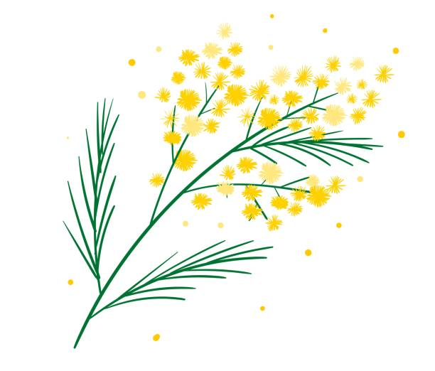 illustrazioni stock, clip art, cartoni animati e icone di tendenza di yellow mimosa flower branch symbol of spring isolated on white. bundle of parts of gorgeous spring flowering plant. elegant floral decorations. vector illustration. - mimosa