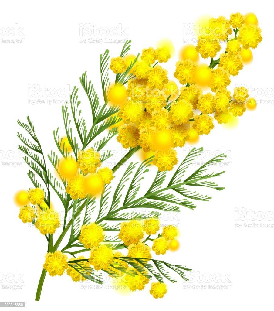 jaune mimosa fleur branche symbole de printemps isol sur blanc cliparts vectoriels et plus d. Black Bedroom Furniture Sets. Home Design Ideas