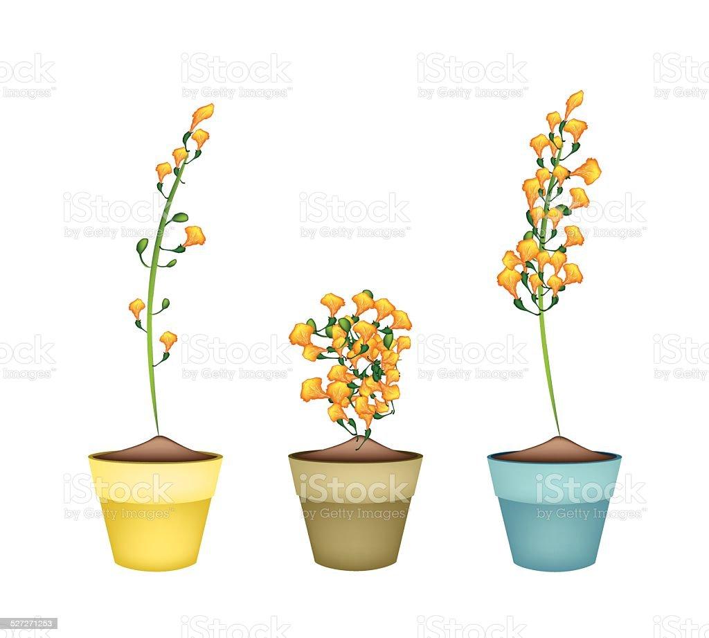 Yellow Padauk Flower In Ceramic Flower Pots Stock Vector Art More