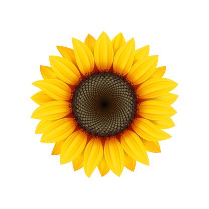 Yellow sunflower flower