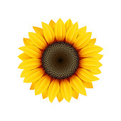Yellow sunflower flower on white background, design element, vector icon.