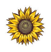 Yellow sunflower. Wildflower sun shaped view from above, sunny blossom with black seeds and petals, hand drawn botanical floral close up sketch style colored illustration vector single isolated object