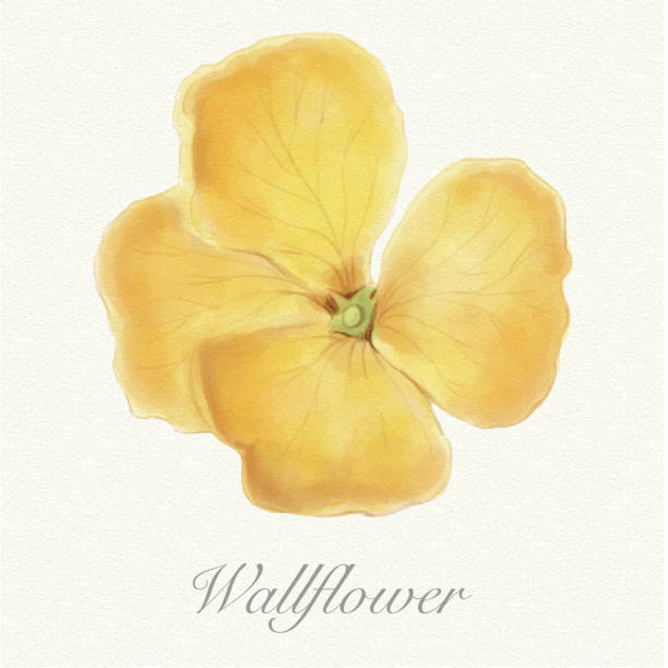 dd78899e0 Top 30 Wallflower Clip Art, Vector Graphics and Illustrations - iStock