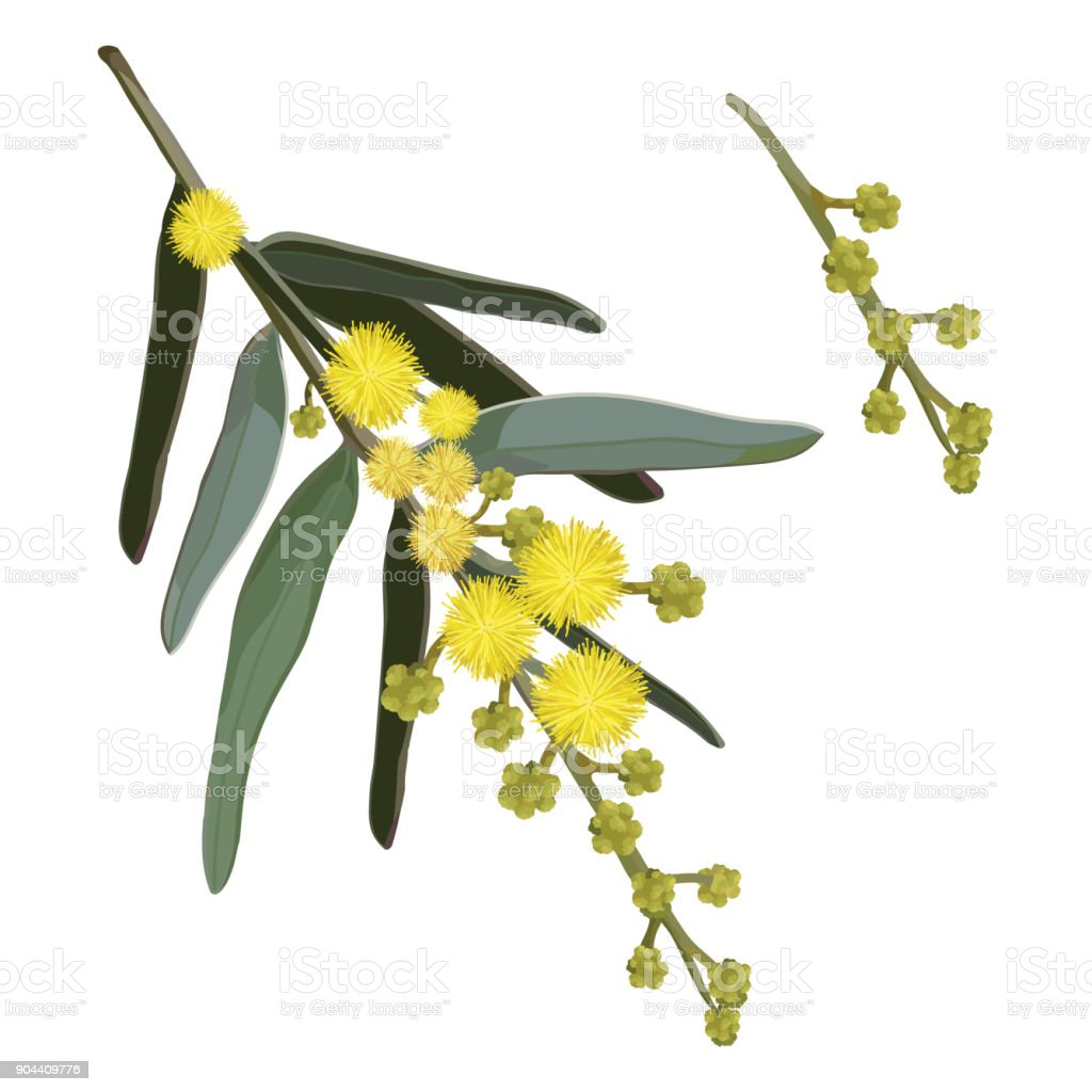 Yellow Wattle Flowers vector art illustration