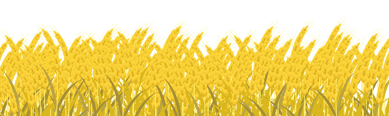 Yellow wheat ripe for harvest on a white background.