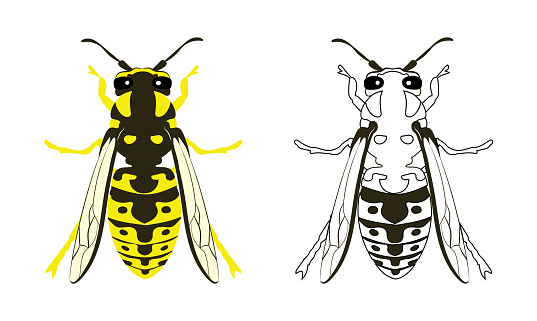 Yellowjacket Yellow Jacket Wasp Hornet Vector Illustration Fill and Outline Isolated on White Background. Insects Bugs Worms Pest and Flies.