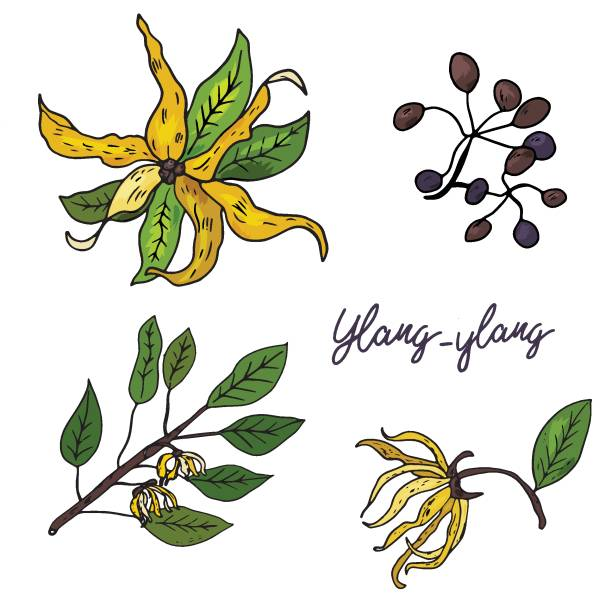 Ylang-ylang. Set of hand drawn objects isolated on white background. Ylang-ylang. Set of hand drawn objects isolated on white background. Black outline and color stains and drips. Vector Illustration love potion stock illustrations