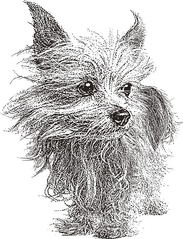 Yorkshire Terrier Dog. Isolated on white.