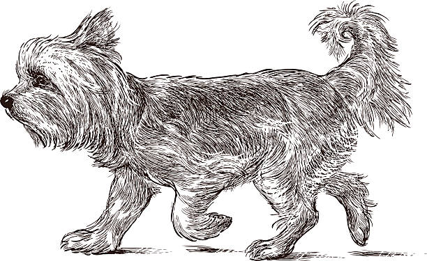 Line Drawing Of Yorkshire Terrier : Royalty free yorkshire terrier clip art vector images