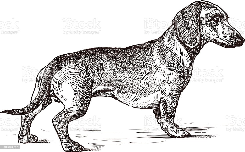 young dachshund vector art illustration