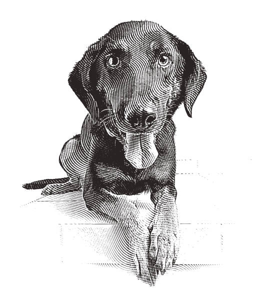 a young german shepherd mix dog waiting to be adopted - граттаж stock illustrations