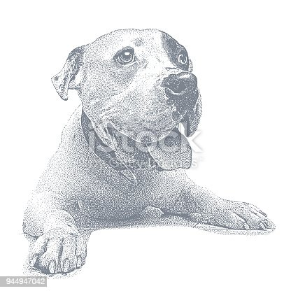 istock Young male Pit Bull Terrier 944947042