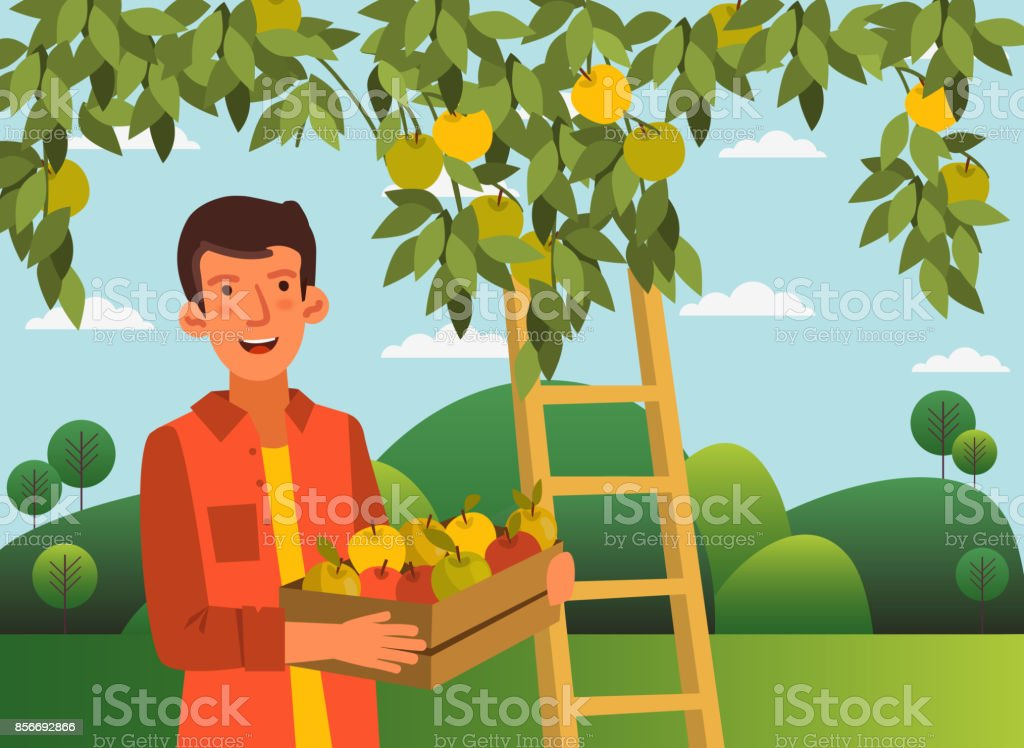 Young man in a garden with a wooden crate box full of fresh apples vector art illustration