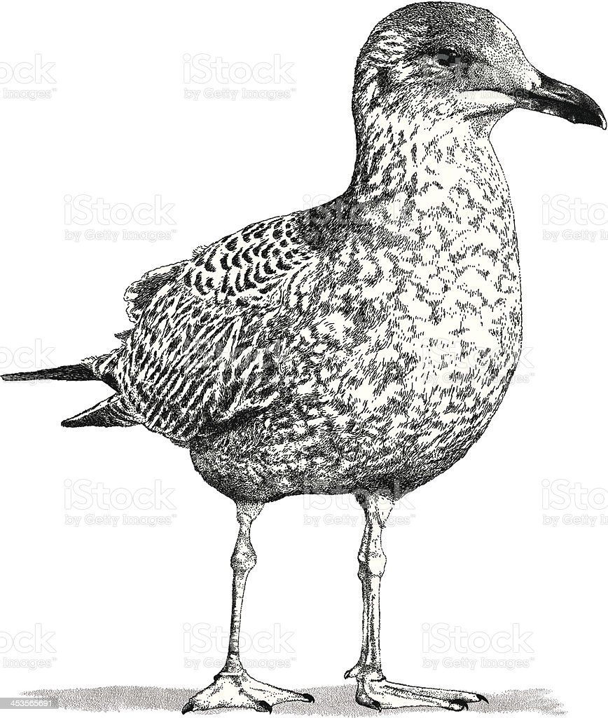Young Seagull vector art illustration