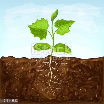 istock young seedling of vegetable grows in fertile soil. sprout with underground root system in ground on blue sky background. green shoot vector illustration. spring sprout of healthy cucumber plant 1213143822