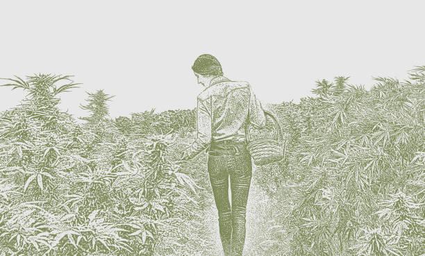 Young woman farmer harvesting hemp plants vector art illustration