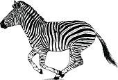 Zebra running through the dust