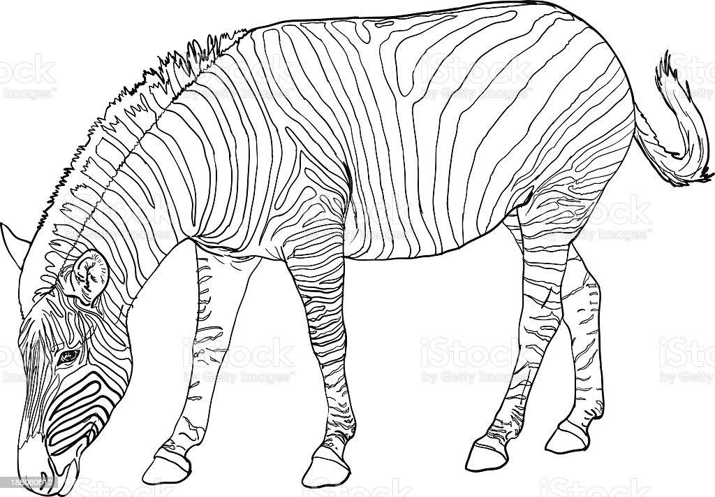 zebra zum ausmalen  ausmalbilder