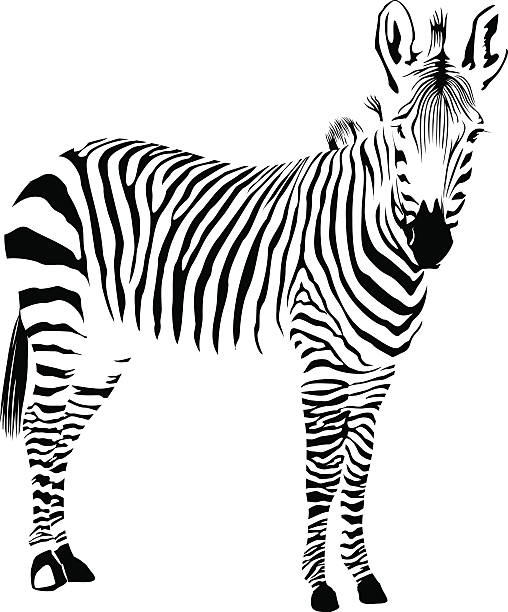 Royalty Free Zebra Clip Art, Vector Images & Illustrations ...