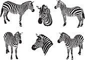 Zebras on a white background