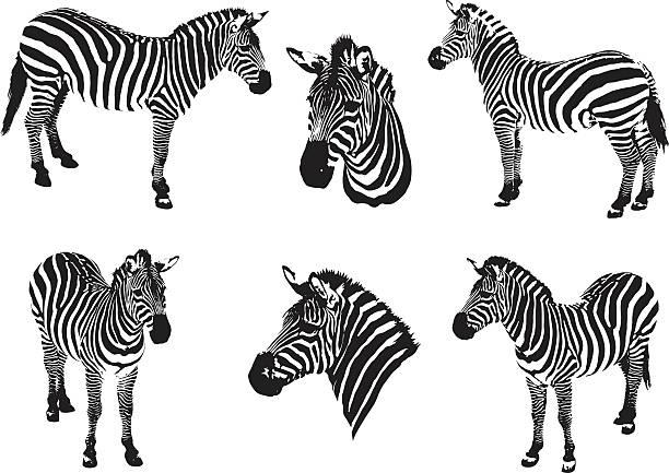 zebras auf ein weißer hintergrund - zebras stock-grafiken, -clipart, -cartoons und -symbole