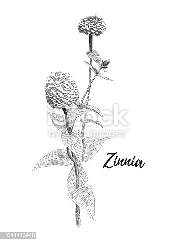 Zinnia flower drawing. Black and white line art vector illustration. Hand drawn zinnia flowers and leaves sketch, doodle. Botanical poster background.