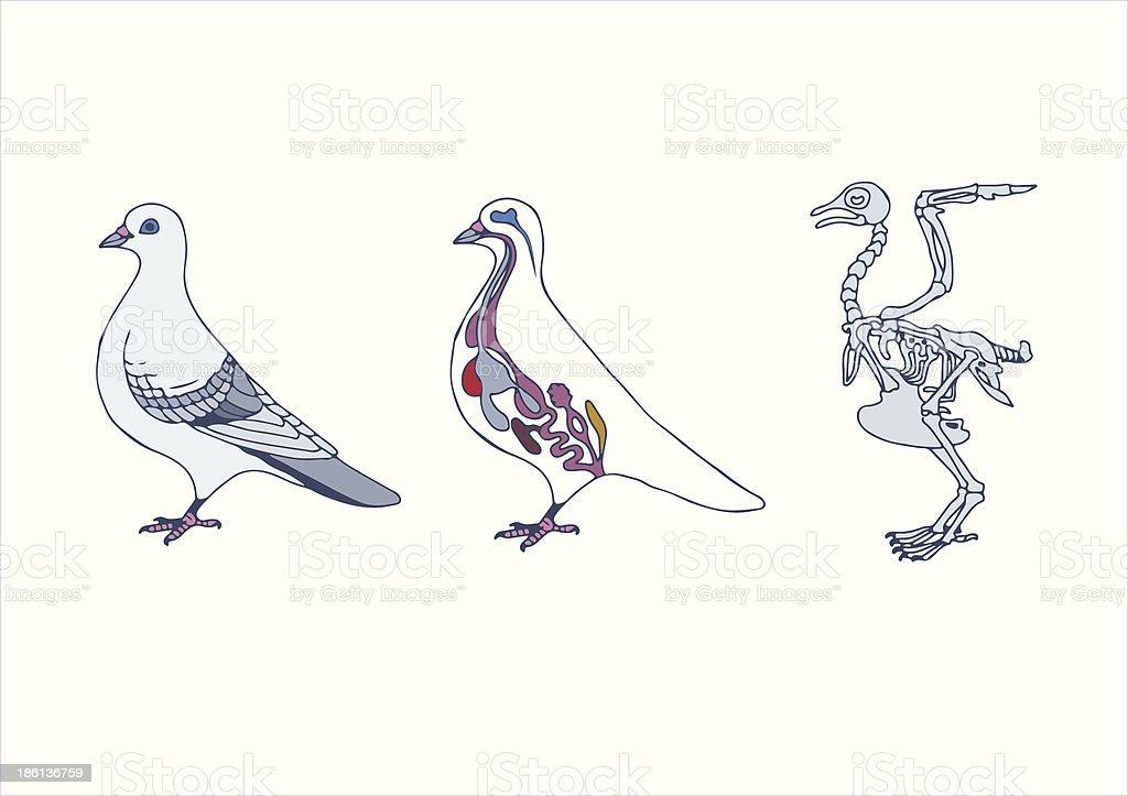 Zoologie Anatomie Der Vogel Stock Vektor Art und mehr Bilder von ...