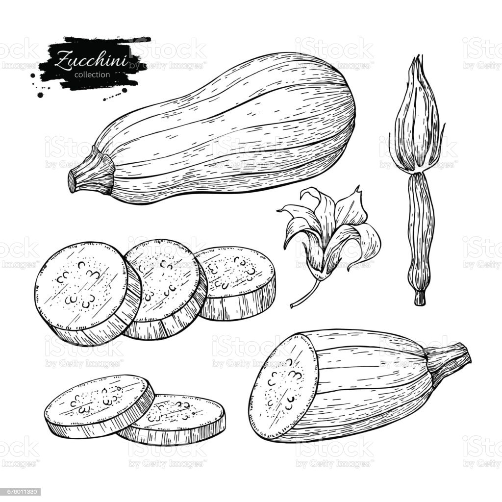 Zucchini hand drawn vector illustration set. Isolated Vegetable engraved style object with sliced pieces and flower vector art illustration
