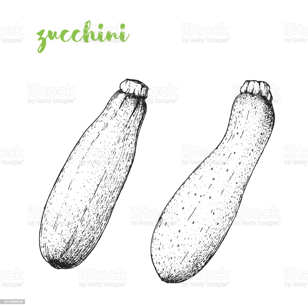 Zucchini vector illustration. Engraved image. Sketch food illustration. Vegetable hand drawn. vector art illustration