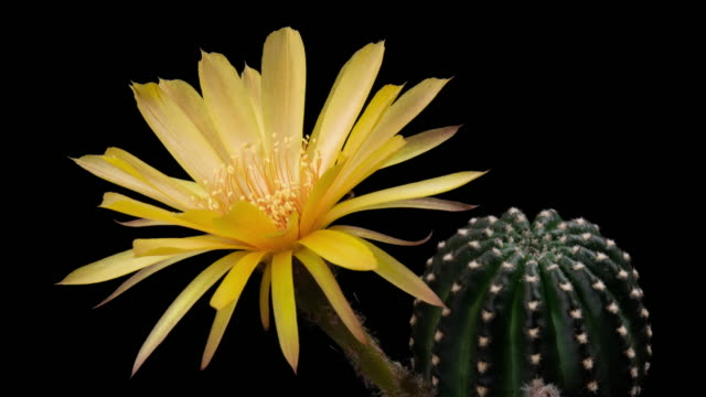 BLOOMING CACTUS FLOWER LOBIVIA YELLOW COLOR 4K T/L