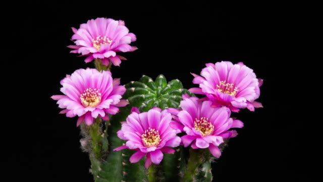 blooming cactus flowers echinopsis pink flower 4k t/l - cinque oggetti video stock e b–roll