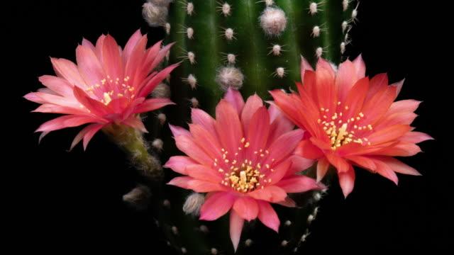 BLOOMING CACTUS FLOWERS OLD-ROSE LOBIVIA HYBRID 4K T/L