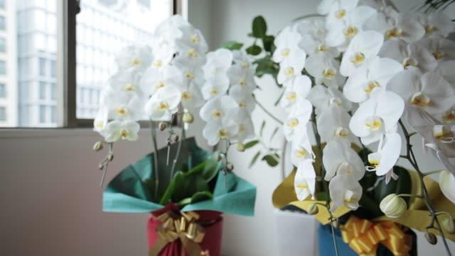 白い胡蝶蘭 - orchidee stock-videos und b-roll-filmmaterial