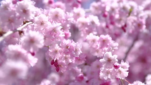 vídeos de stock, filmes e b-roll de 風に揺れるピンクの桜 - cerejeira árvore frutífera