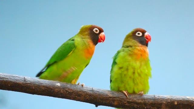 black-cheeked lovebird (agapornis nigrigenis). - птица стоковые видео и кадры b-roll