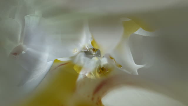 ORCHIDS - INFINITE CLOSE-UP  INSIDE THE BLOOM (seamless loopable) video
