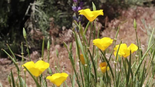 ESCHSCHOLZIA CALIFORNICA BLOOM - BALDWIN LAKE ER - 060920 V A