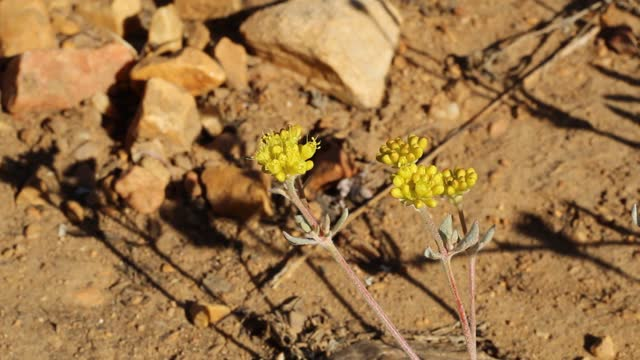 ERIOGONUM UMBELLATUM BLOOM - BALDWIN LAKE ER - 063020 V A