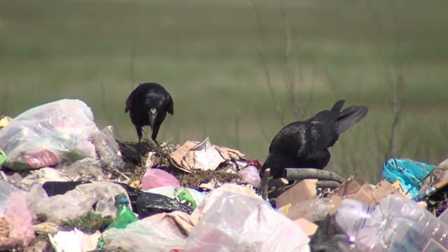 black crows fighting over garbage - food waste bildbanksvideor och videomaterial från bakom kulisserna