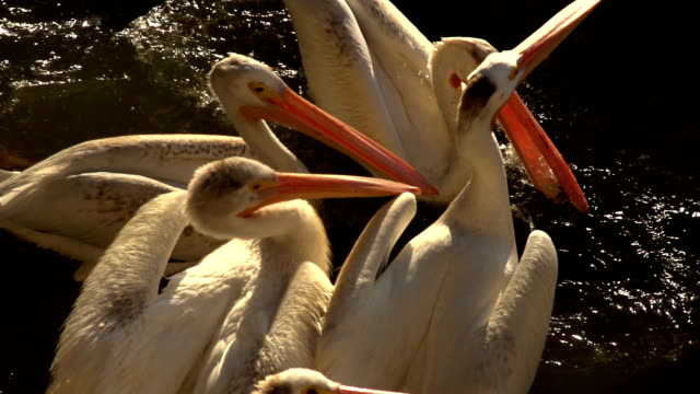PELICAN SLOW MOTION MONTAGE video